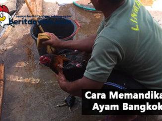 Inilah Anjuran Botoh Tua Bagaimana Cara Memandikan Ayam Bangkok