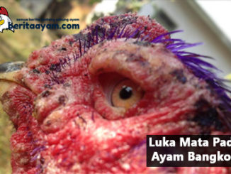 Inilah Cara Ampun Untuk Mengobati Luka Mata Pada Ayam Bangkok