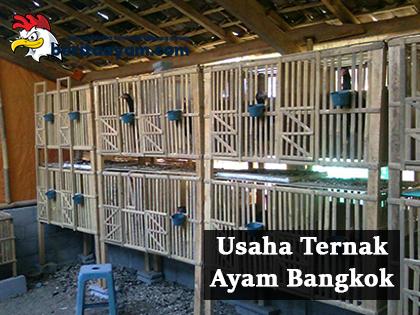 Inilah Alasan Usaha Ternak Ayam Bangkok sangat Menggiurkan