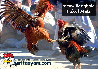Beberap Ciri Ayam Bangkok Pukul Mati Dan Cara Merawatnya