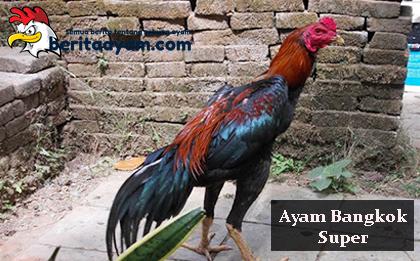 Beberapa Cara Menambah Pukulan Pada Ayam Bangkok Super