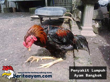 Beberapa Cara Untuk Mengobati Penyakit Lumpuh Ayam Bangkok