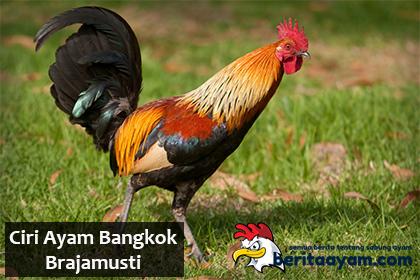 Beberapa Ciri Ayam Bangkok Brajamusti Khas Lampung