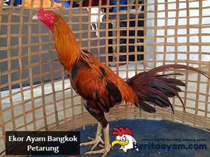 Beberapa Ciri Ekor Ayam Bangkok Petarung Yang Berkualitas