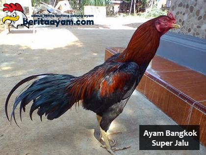 Beberapa Ciri Fisik Dari Ayam Bangkok Super Jalu