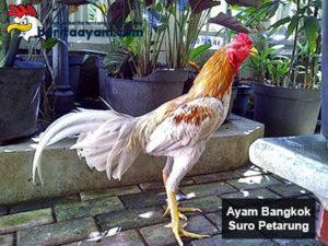 Beberapa Jenis Ayam Bangkok Suro Petarung dan Kelebihannya
