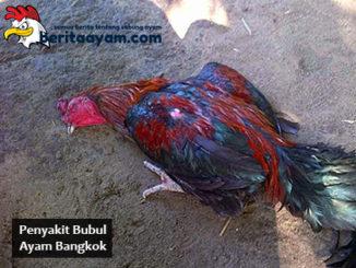 Beberapa Jenis Obat Untuk Penyakit Bubul Ayam Bangkok
