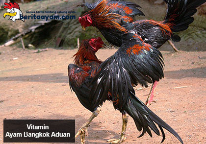Beberapa-Jenis-Vitamin–Ayam-Bangkok-Aduan-Dan-Cara-Pemberiannya