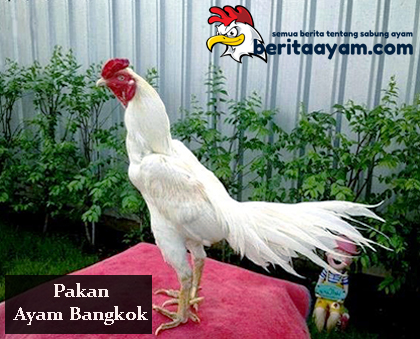 Beberapa Manfaat Pakan Ayam Bangkok Menggunakan Beras Putih