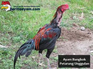 Beberapa Perbedaan Ayam Bangkok Petarung Unggulan Asli atau Palsu