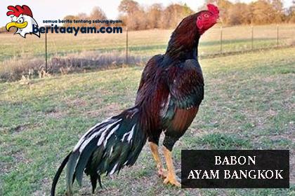 Beberapa Tips Untuk Memilih Babon Ayam Bangkok Yang Berkualitas Super