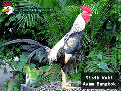 Beberapa Tips Untuk Mengeringkan Sisik Kaki Ayam Bangkok