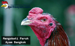 Cara Mengobati Paruh Ayam Bangkok Aduan Yang Patah Atau Lepas