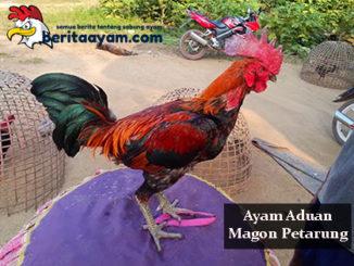 Gaya Bertarung Dan Kelebihan Ayam Aduan Magon Petarung