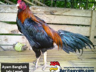 Keistimewaan Ayam Bangkok Jalu Lepek Jenis Pukulan Berat