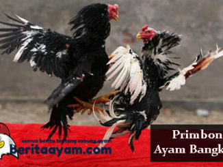 Pantangan Dan Larangan Saat Berlaga Menurut Primbon Ayam Bangkok