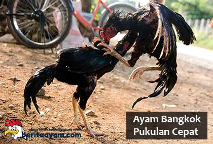 Penjelasan Mengenai Cara Melatih Ayam Bangkok Pukulan Cepat