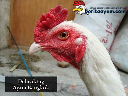 Penjelasan dan Manfaat Tentang Debeaking Ayam Bangkok