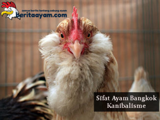 Penyebab dan Cara Mencegah Sifat Ayam Bangkok Kanibalisme