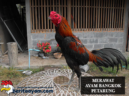 Merawat Ayam Bangkok Petarung