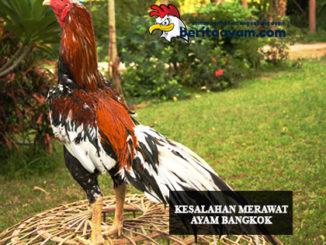 Merawat Ayam Bangkok Aduan