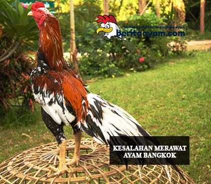 Beberapa-Kesalahan-Dalam-Merawat-Ayam-Bangkok-Aduan
