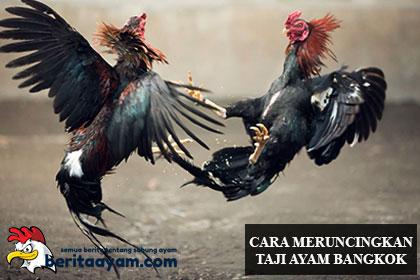 Meruncingkan Jalu Ayam Bangkok