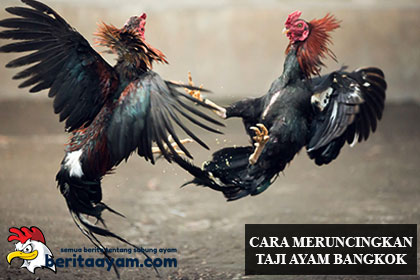 Cara-Cepat-Meruncingkan-Jalu-Ayam-Bangkok-Aduan