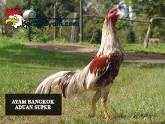 Ayam Bangkok Aduan Super