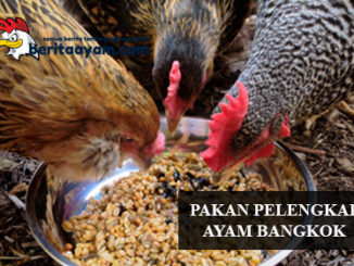 Pakan Pelengkap Ayam Bangkok