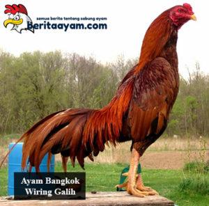 Ayam Bangkok Wiring Galih