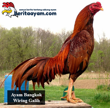 Kelebihan-dan-Kekurangan-Ayam-Bangkok-Wiring-Galih