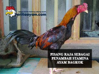 Penambah Stamina Ayam Bangkok
