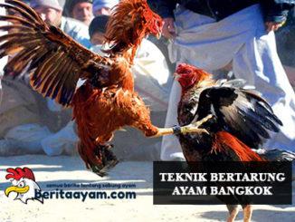 Teknik Bertarung Ayam Bangkok