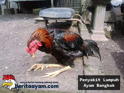 Beberapa-Cara-Untuk-Mengobati-Penyakit-Lumpuh-Ayam-Bangkok
