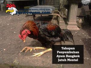 Ayam Bangkok Aduan Jatuh Mental