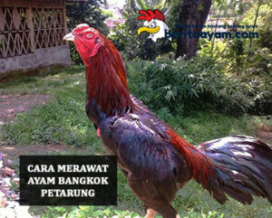 Beginilah Cara Orang Thailand Merawat Ayam Bangkok Petarung