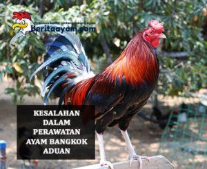Perawatan Ayam Bangkok Aduan