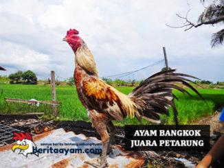 Ayam Bangkok Juara Petarung