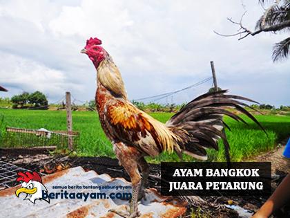 Manfaat-Pemberian-Obat-Amoxilin-Untuk-Ayam-Bangkok-Juara-Petarung