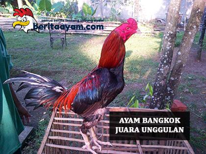 Ayam Bangkok Juara Unggulan