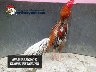 Ayam Bangkok Klawu Petarung