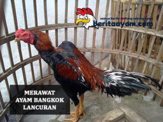 Merawat Ayam Bangkok Lancuran
