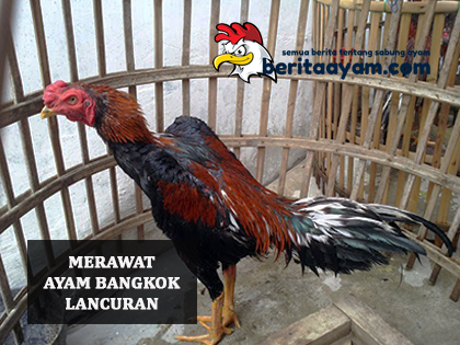 Cara-Merawat-Ayam-Bangkok-Lancuran-Sebelum-Di-Tandingkan