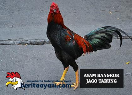 Ayam Bangkok Jago Tarung
