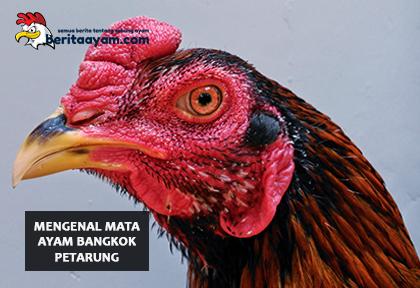 Mata Ayam Bangkok Petarung