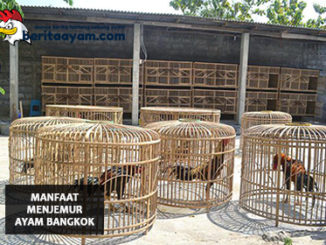 Manfaat Menjemur Ayam Bangkok