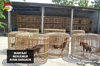 Salah-Satu-Latihan-Wajib,-Inilah-Manfaat-Menjemur-Ayam-Bangkok