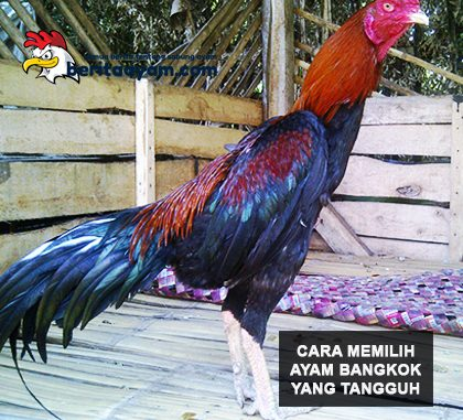 Ayam Bangkok Aduan Tangguh