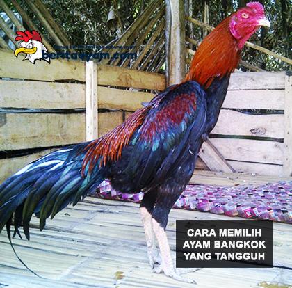 Beberapa-Faktor-Penting-Dalam-Memilih–Ayam-Bangkok-Aduan-Tangguh